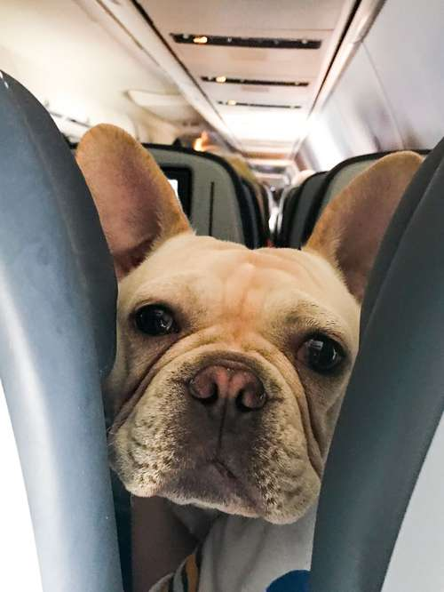 frenchie on the plane