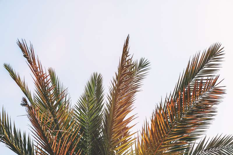 sago palms dogs