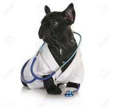 frenchie the vet