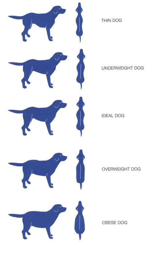 French Bulldog Ideal Weight 7 Tips For A Healthy Frenchie